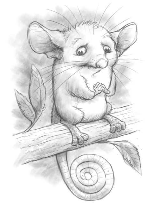 pygmy possum sketches